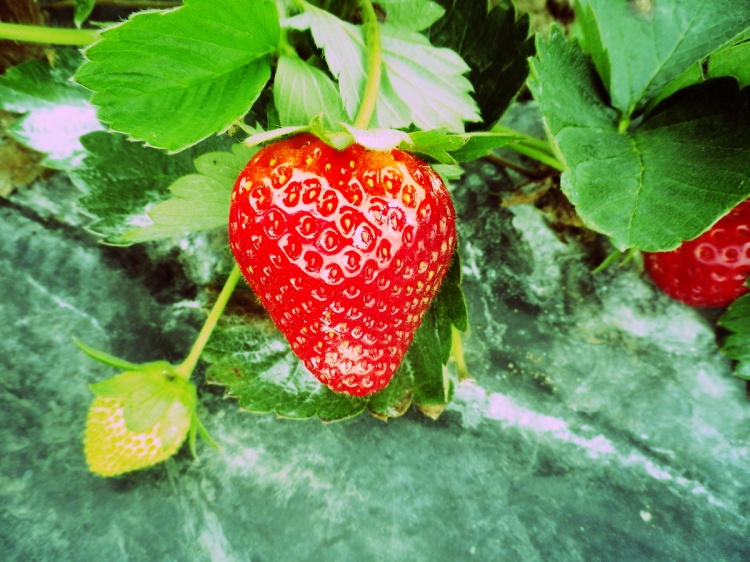 Perfect shaped Strawberry